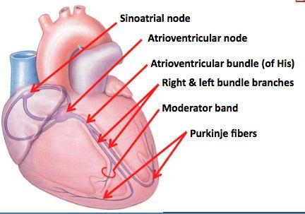 Heart anatomy flash cards
