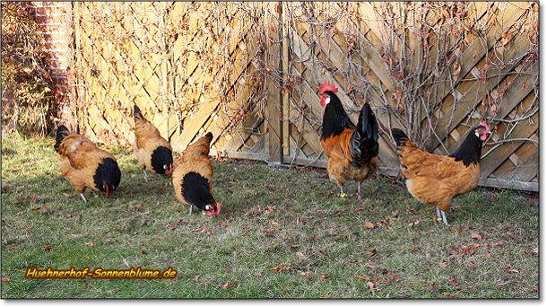 Vorwerkhühner - gefährdete Haustierrasse. Zwiehuhn, robust
