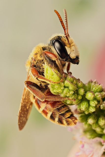 Solitary Bee on Mint VII An early morning image of a snoozing solitary bee. by Dalantech -John Kimbler