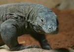 Komodo Dragon: the largest walking reptiles on earth. East Nusa Tenggara, Indonesia