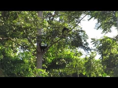 Maquisapa o mono araña negro del Amazona Peruano (Ateles chamek) - YouTube