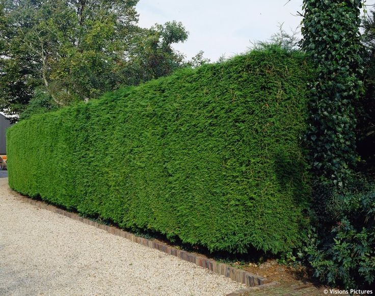 how to trim CUPRESSOCYPARIS leylandii in a hedge - Recherche Google