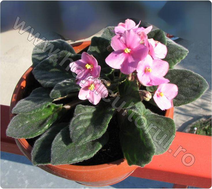 """VIOLETA DE PARMA """"Violeta africana"""" sau SAINTPAULIA (Saintpaulia jonantha H.) este o planta de apartament decorativa prin flori, originara din Africa Centrala. Violetele de Parma sunt…"""