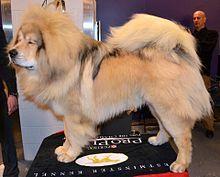 El dogo del Tíbet (Do-Khy) o mastín tibetano es una raza canina originaria del Tíbet.