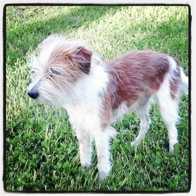 #kromfohrländer #Pumba #dog #koira #lemmikki #valkoinen #ruskea #kirsu #silmät #kromi #kromfohrlander    #kesäkuu #nurmikko