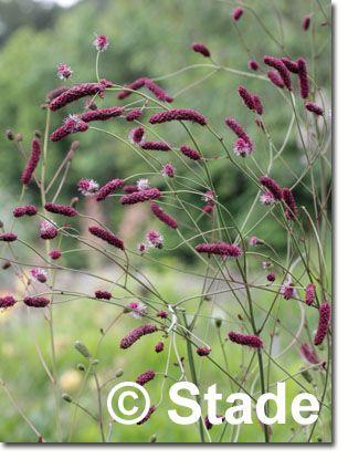 Staudenfoto zu Sanguisorba tenuifolia 'Purpurea' (Garten-Wiesenknopf)