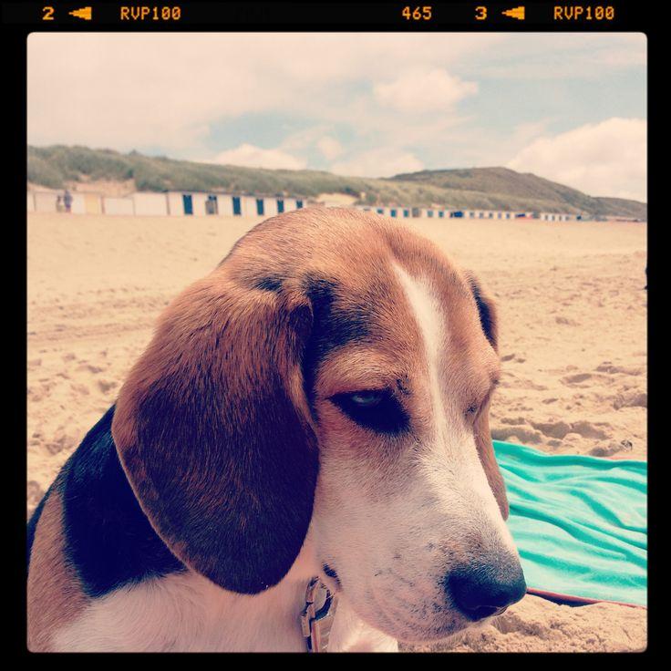 Our Beagle on the beach.