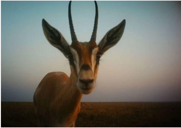 Veja fotos incríveis de animais africanos, capturadas por câmeras imóveis e automáticas.
