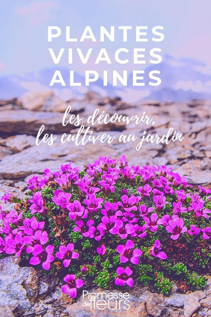 Les Plantes Vivaces Alpines Vivaces Plante Plante Vivace