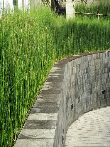 Horsetail Reed For Redeeming Area Of Riverfront With