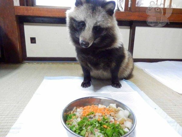 Like raccoons, tanukis pretty much eat anything. | The Internet Just Fell In Love With A Raccoon Dog Named Tanu