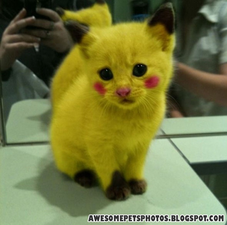 Pikachu!: Cats, Kitten, Animals, Pokemon, Pikachu Kitty, Stuff, So Cute, Funny, Things