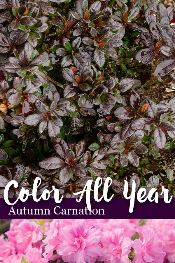 Color All Year With Encore Azalea Azaleas Plant Nursery Bloom