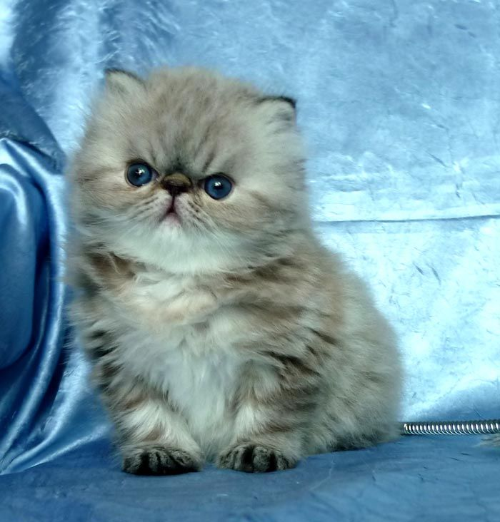 I want another one of these!!!!   persian himalayan kitten