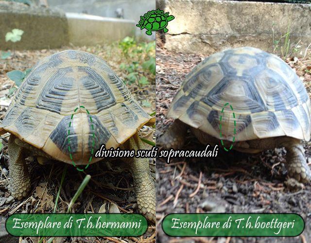 Un'ulteriore caratteristica della zona posteriore del carapace, è presente sugli scuti sopracaudali. In tutti gli esemplari di T.h.h. la placca sopracaudale è divisa in due scuti, invece nelle T.h.b. alcuni esemplari l'hanno divisa mentre in altri manca questa separazione.