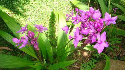 Spathoglottis plicata u orquídea de tierra, ground orchid. | natural