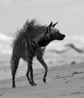 Aardwolf - the smallest of the hyena family, they can puff their tails and a…