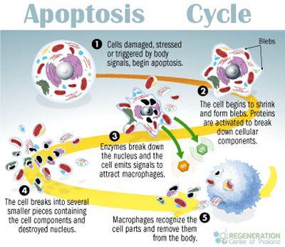 Programmed Cell Death via Apoptosis - http://stemcellthailand.org/apoptosis-programmed-cell-death-pcd/?PN&utm_medium=SCT-pintrest&utm_campaign=SNAP%2Bfrom%2BRegeneration+Center+of+Thailand