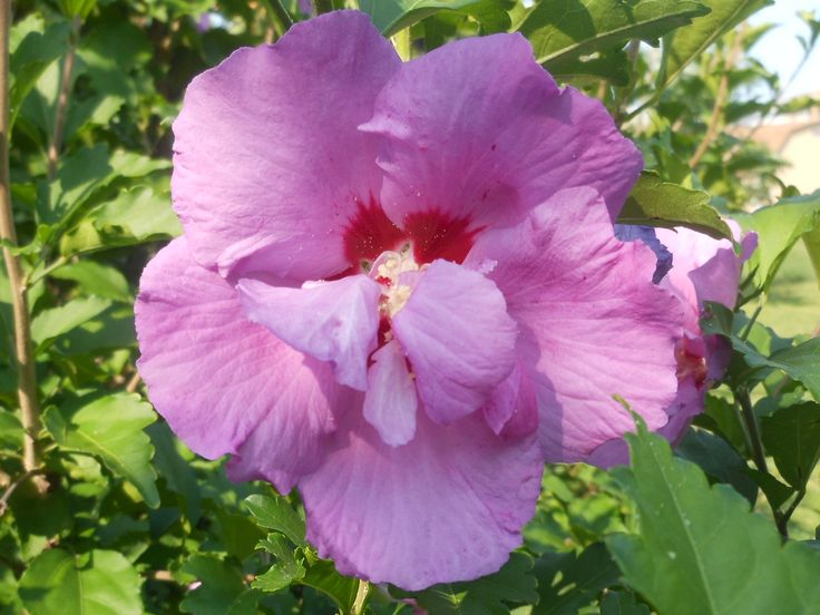 Our Purple Hibiscus~Stands almost 8 tall When in full bloom there