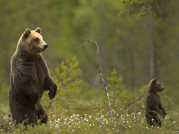 Os ursos-pardos (como estes, da Finlândia) estão entre os maiores carnívoros da Terra. Eles caçam sozinhos, exceto durante eventos sazonais - caso da época de desova de salmões, quando muitos ursos são vistos juntos. Os animais passam metade de sua vida hibernando  Foto: BBC Brasil