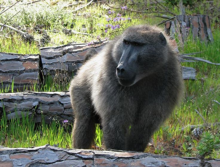 Adult male Chacma Baboon by Baboon Matters