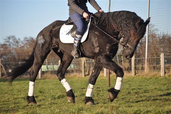Paarden te koop: Lard 13jr. 174m. zwarte Friese ruin