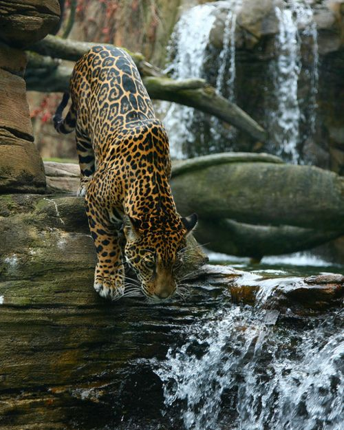 i want oneJaguar, Wild Cat, Animal Planets, Big Cat, Water Fountain, Nature, Beautiful, Leopards, Cool Drinks