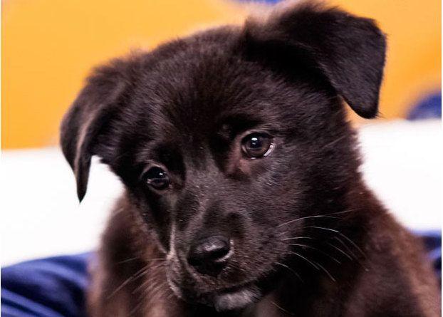 Name: MagnoliaBreed(s): Chow Chow/Labrador Retriever mixSex: FemaleAge: 11 weeks Fun ...