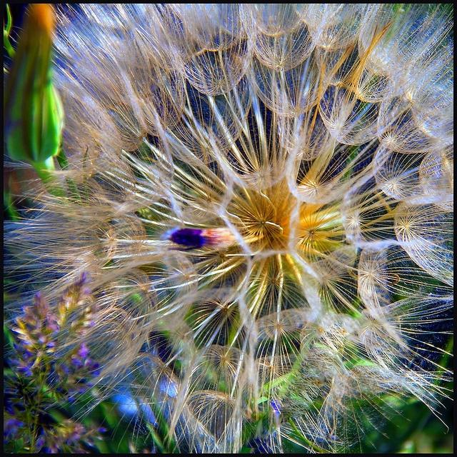 best dandelion fluff ages on Pinterest Flowers