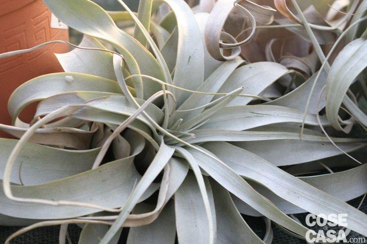 Le #piante che purificano l'aria di casa  Alcune specie hanno la capacità di assorbire sostanze volatili dannose per l'uomo e di liberare così le stanze: a tutto vantaggio della salute. http://www.cosedicasa.com/casa-in-fiore/