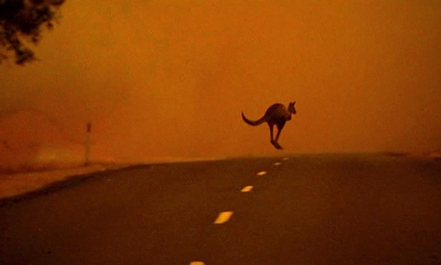 A kangaroo crossing a road in Gippsland, Victoria, Australia, as it escapes from a bushfire.