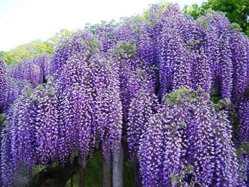 """BEAUTIFUL BLUE MOON WISTERIA VINE POTTED PLANT 8-12"""" Tall"""