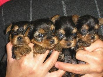 Criaderos de Cachorros de la Raza Yorkshire Terrier http://www.mascotadomestica.com/criaderos-de-perros-en-el-mundo/criaderos-de-cachorros-de-la-raza-yorkshire-terrier.html