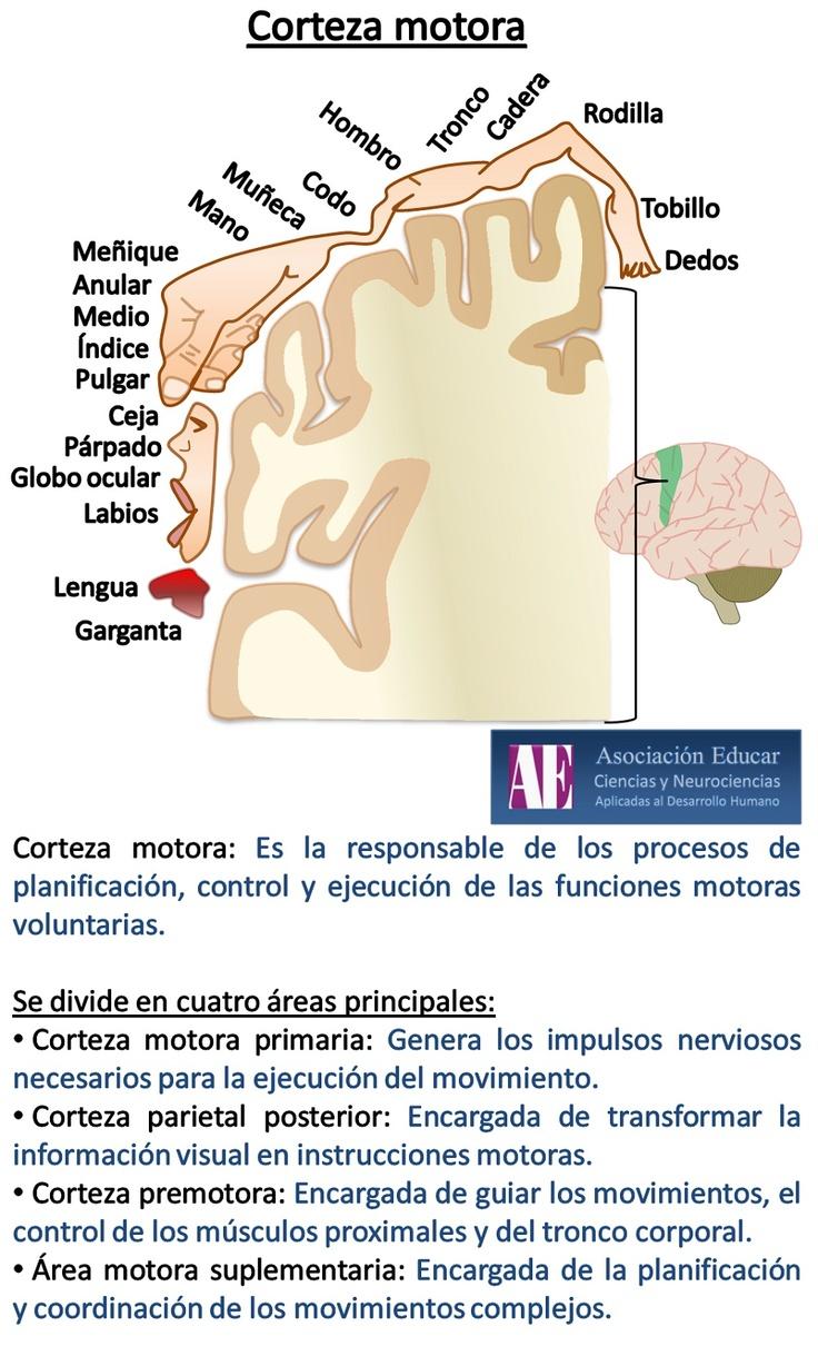 Corteza motora - Asociación Educar - Ciencias y Neurociencias aplicadas al Desarrollo Humano - www.asociacioneducar.com