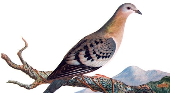 The Passenger Pigeon an Extinct Species at Bagheera