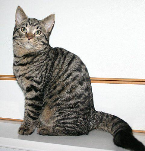 Табби -это название говорит о том, что шубка животного не однотонная, а имеет какой-либо рисунок: * тигровый (mackerel, макрель) * пятнистый (spotted, споттед) * мраморный (blotched, блотчед) Древнейший природный рисунок - полосатый, как у тигра. Его так и называют - тигровый, а в американской фелинологической литературе - макрель (по названию полосатой рыбы скумбрии).