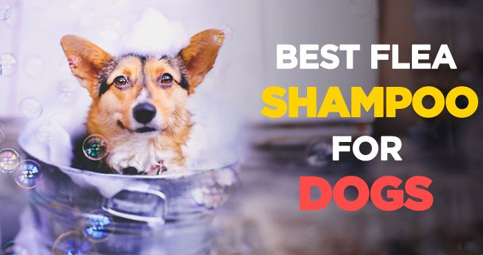 Best Flea Shampoo for Dogs: Best Way to Get Rid of Fleas on Puppies http://peanutpaws.com/best-flea-shampoo-for-dogs/  #dogs #ticks #flea #fleashampoo #health #doglovers #petcare #dog #doghealth #fleacontrol