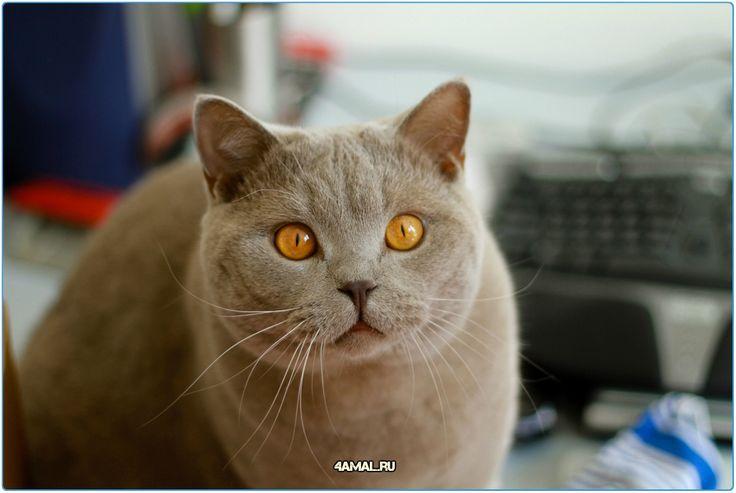 Британская короткошерстная кошка England cats