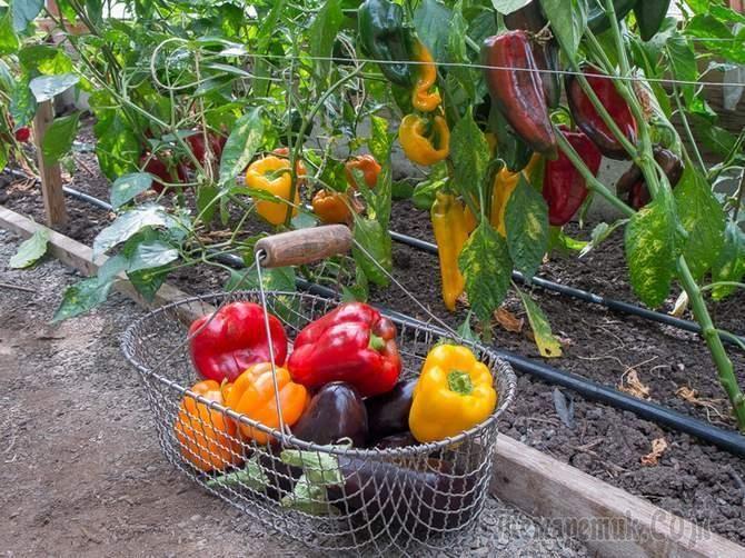 Огороднику, занимающемуся выращиванием перцев и баклажанов, важно обеспечить им хорошее питание на протяжении всего сезона. Эти растения любят уход и заботу: для них необходимость в калии, азоте, фосф...