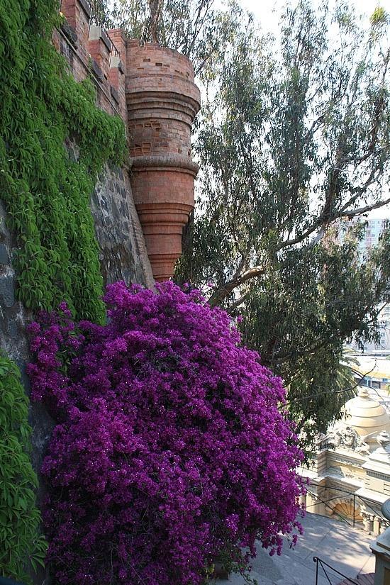 Blooming bougainvillea at Cerro Santa Lucia, Santiago, Chile