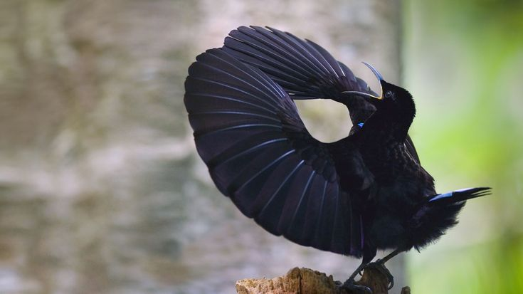 Victoria's riflebird in Wooroonooran National Park; Wet Tropics World Heritage Area; Queensland, Australia.