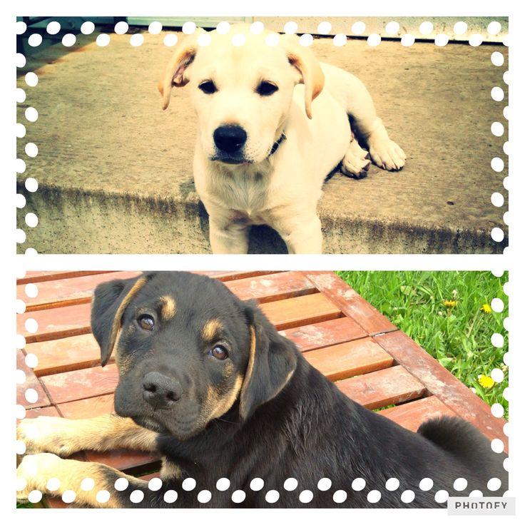 Hope And Lucky Mix of mastiff And labrador | Pawshake