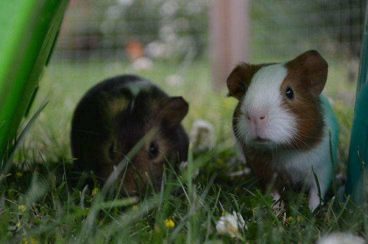 sausage and bean my baby pigs