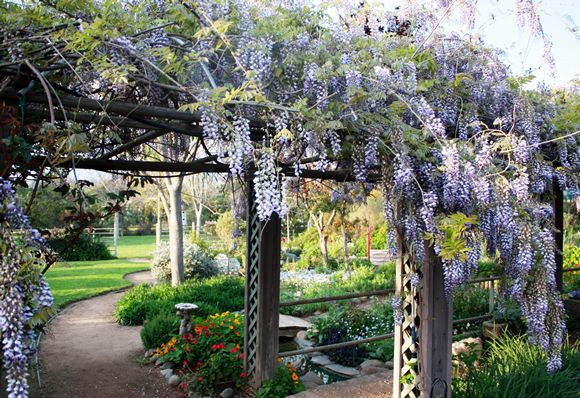 Wisteria arbor at Summers Past Herb Farm in Flinn Springs, CA - Just outside of San Diego.