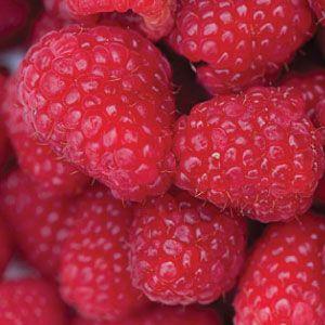Latham Red Raspberry Plant | Raspberry Plants | latham - Urban Farmer