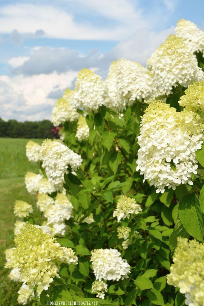 Limelight Hydrangeas | homeiswheretheboatis.net #garden #summer