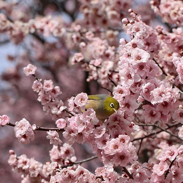 【kedubesaustralia】さんのInstagramをピンしています。 《A #silvereye is spotted enjoying the #cherryblossoms at Lennox Gardens, Canberra - it means that #spring is just around the corner! Spring in Australia begins on the first day of September and ends on the last day of November. Enjoy #opera, jazz, blues and sculpture amongst the wineries of the Hunter Valley, near Sydney, or combine food, wine, diving and surfing in Western Australia's Margaret River. See Canberra come alive with a million spring…