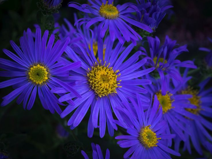 The 271 best perennials flowers images on pinterest perennials aster amellus king george mightylinksfo