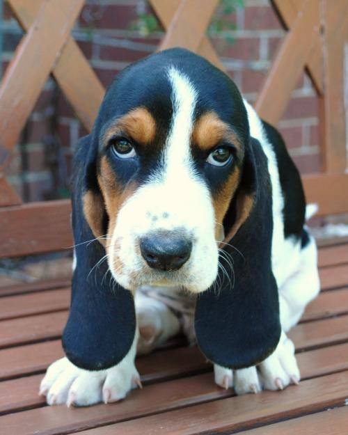 basset hound puppy....I want one!!!!