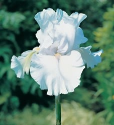 Immortality White Iris Flowers